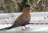 Blackbird_female