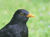 blackbird_male