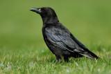 carrion_crow
