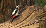 greater_spotted_wood_pecker