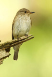 spotted_fly_catcher